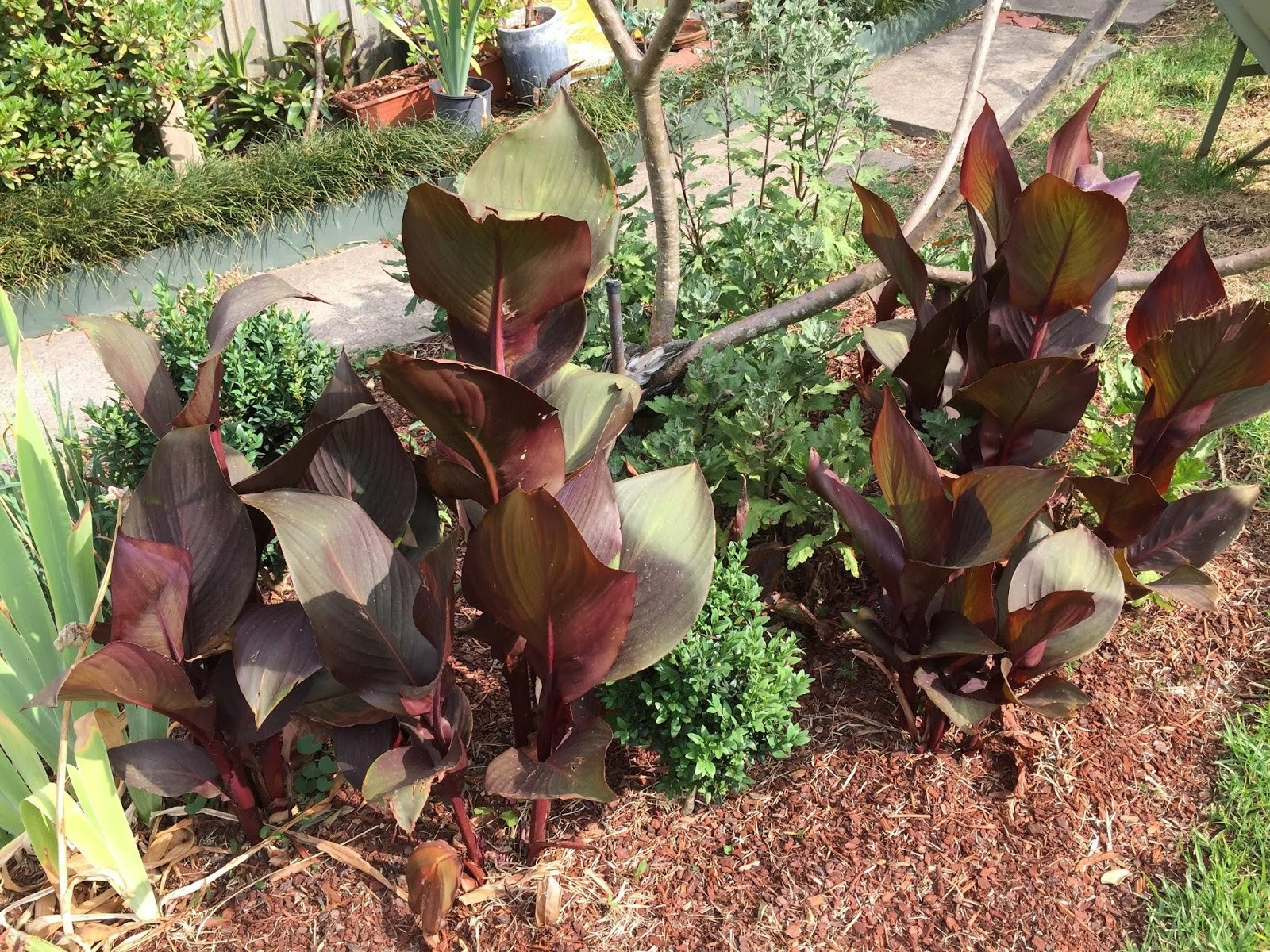 Drought Resistant Plants - Canna Lilies and frangipani
